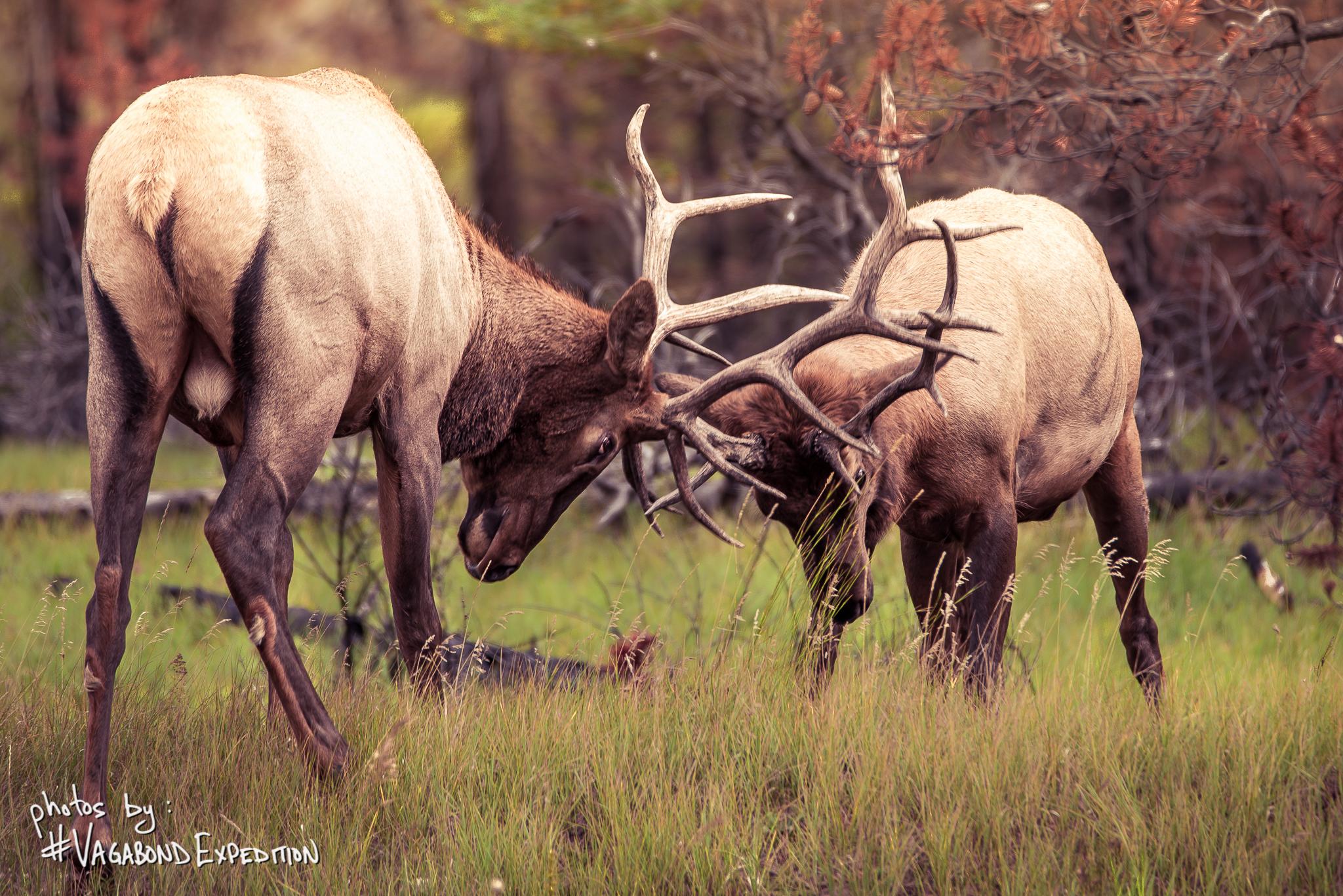 Jasper Elk Rut
